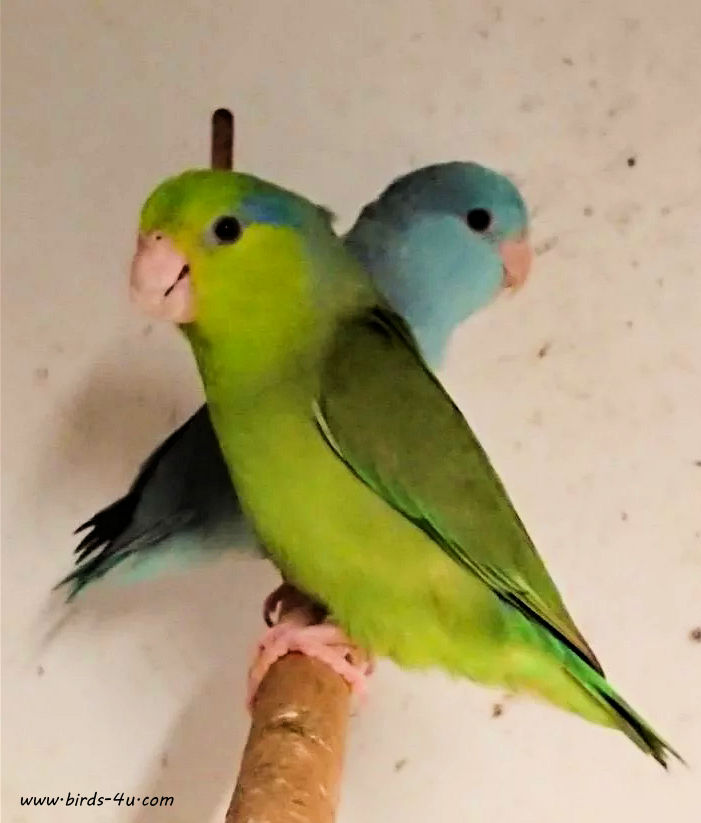 beautiful-baby-parrotlets 4