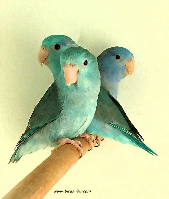 beautiful-baby-parrotlets 6